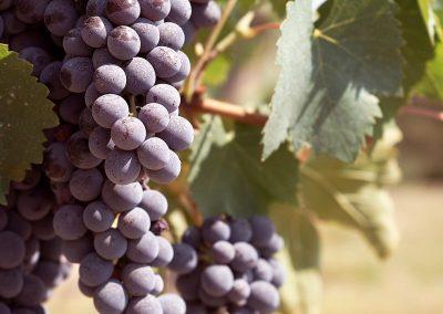 fattoria-piccaratico-vini-uva-01
