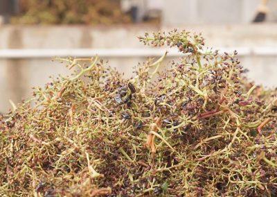 fattoria-piccaratico-vini-uva-03